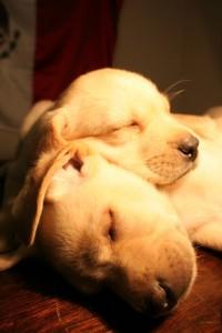 cachorros_labrador_by_mskmx